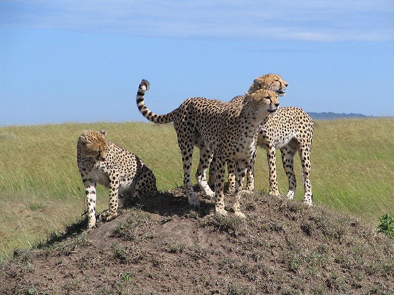 Guepardos Safari Kenya Maasai Mara