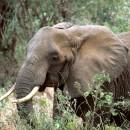 Animales del Parque Nacional del Serengeti (Tanzania)