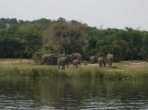 Elefantes en el Parque Nacional Murchison Falls, Uganda