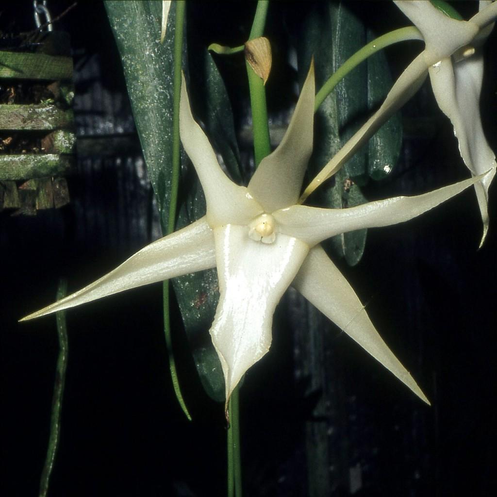 Angraecum Sesquipedale Orchi